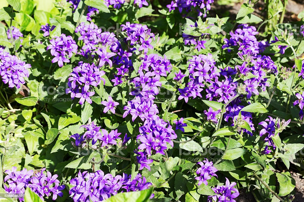 Purple Bellflowers in a Garden stock photo