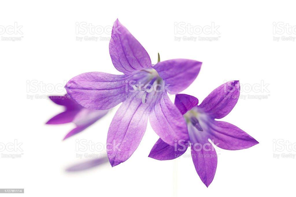Purple Bellflowers stock photo
