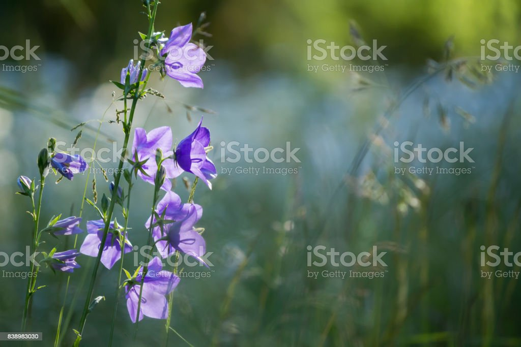 purple bellflowers standing on left with muted meadow in background stock photo