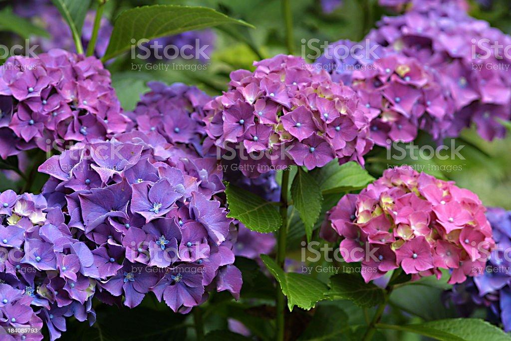 Purple Berrerttini Hydrangeas flowers stock photo