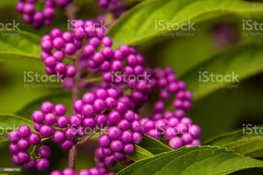 Purple Berries 2 stock photo