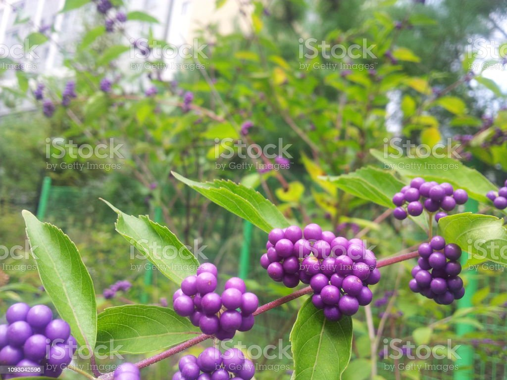 Purple Berries Of The Beautyberry Plant In The Fall With Green