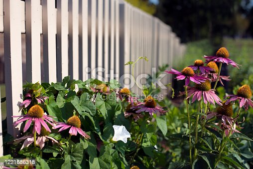 Purple Cone-Flower (echinacea) growing in a summer garden full of greenery and blue sky in the background.