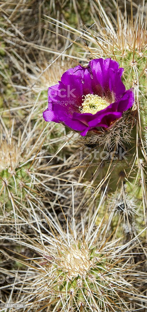 Purple Blooming Hedgehog Cactus royalty-free stock photo