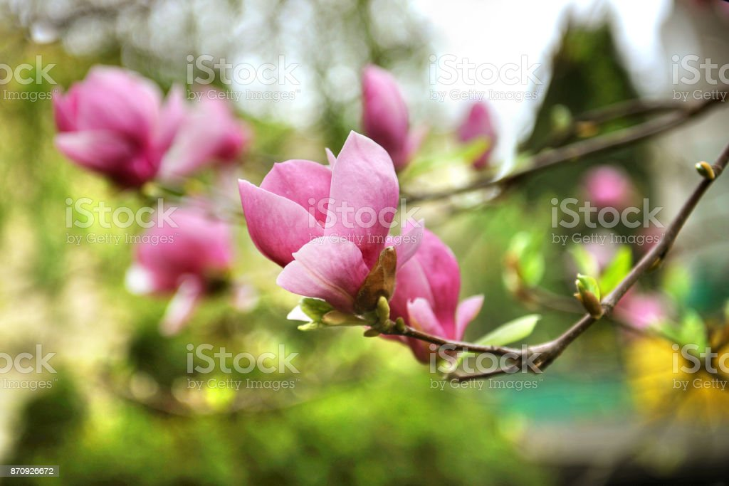 Purple blooming magnolia. Pink flowers on green background. stock photo