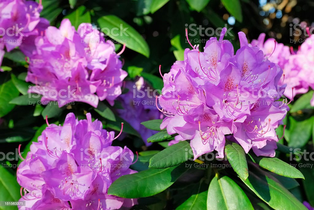 Purple blooming rhododendron with green leaves stock photo