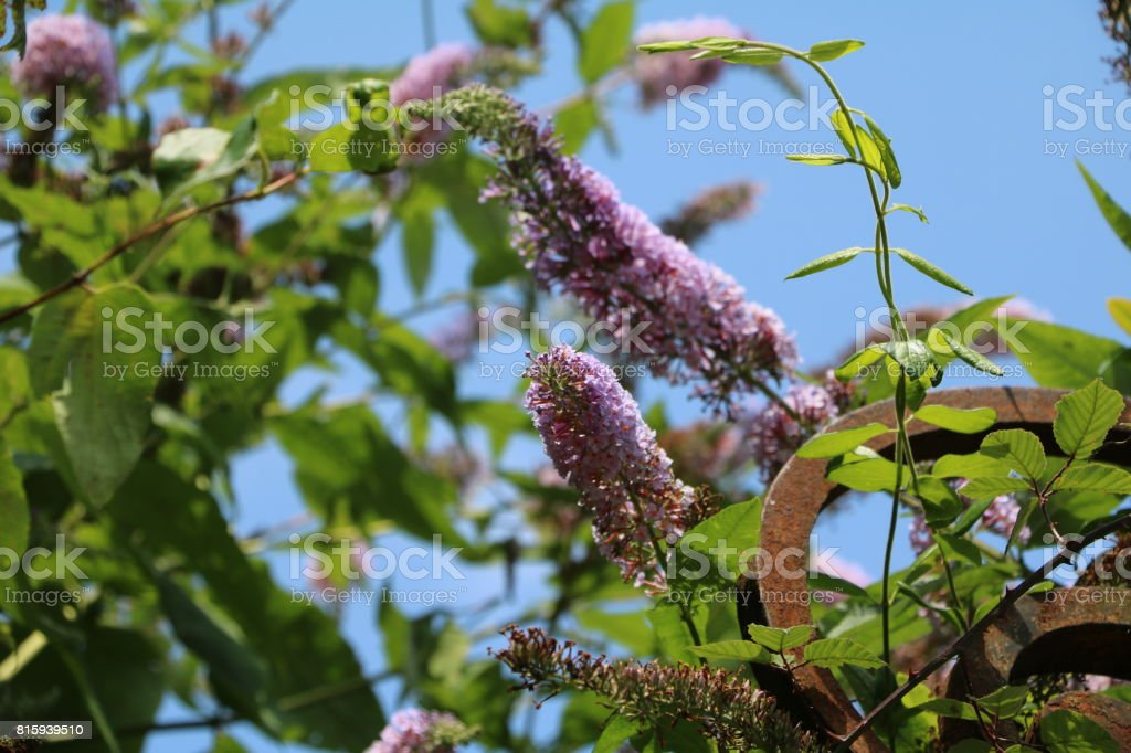 purple blooming summer lilac stock photo