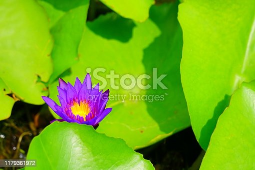 Asia, Thailand, Lotus Water Lily, Blue, Lily