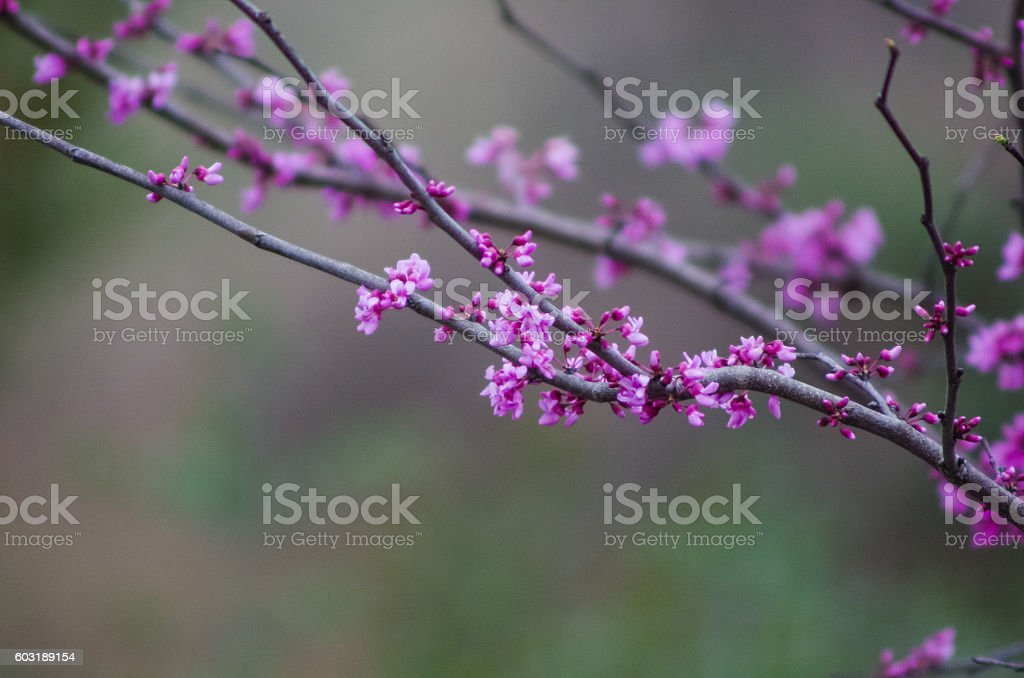 Purple Blooms on Branches stock photo