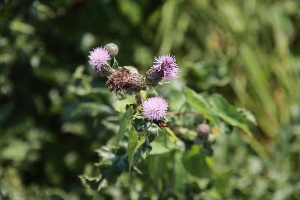 Purple blossom of the thistle plant picture id1276671069?b=1&k=6&m=1276671069&s=612x612&w=0&h=msefrxmoywawx3myjiavtlzvx emuevihb egbiftc0=