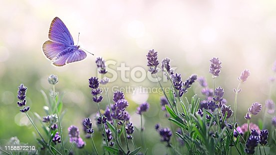Blossoming Lavender flowers and flying butterfly in summer morning background . Purple growing Lavender with natural bokeh lights from morning dew on the grass close-up