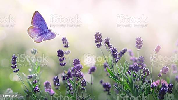 Purple blossoming lavender and flying butterfly in nature picture id1158872210?b=1&k=6&m=1158872210&s=612x612&h=mt1btarxqu08ftz7 siop stsygkfrxngwdnx2ocyqu=