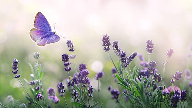 purple blossoming lavender and flying butterfly in nature. - colore lavanda foto e immagini stock