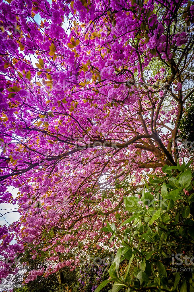 Purple blossoming tree royalty-free stock photo
