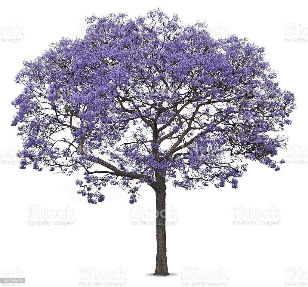 Purple blossoms on jacaranda tree on white background stock photo