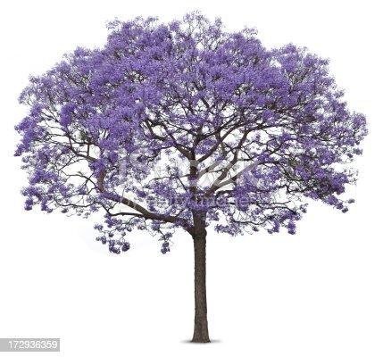 Purple blossoms on jacaranda tree on white background for Planta ornamental jacaranda
