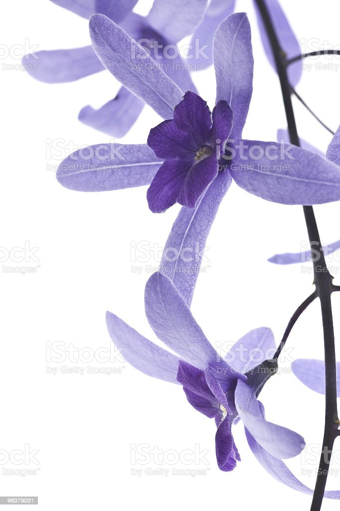 purple blossoms on white background royalty-free stock photo