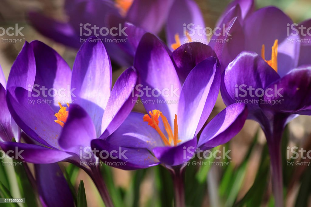 Purple- blue crocuses stock photo