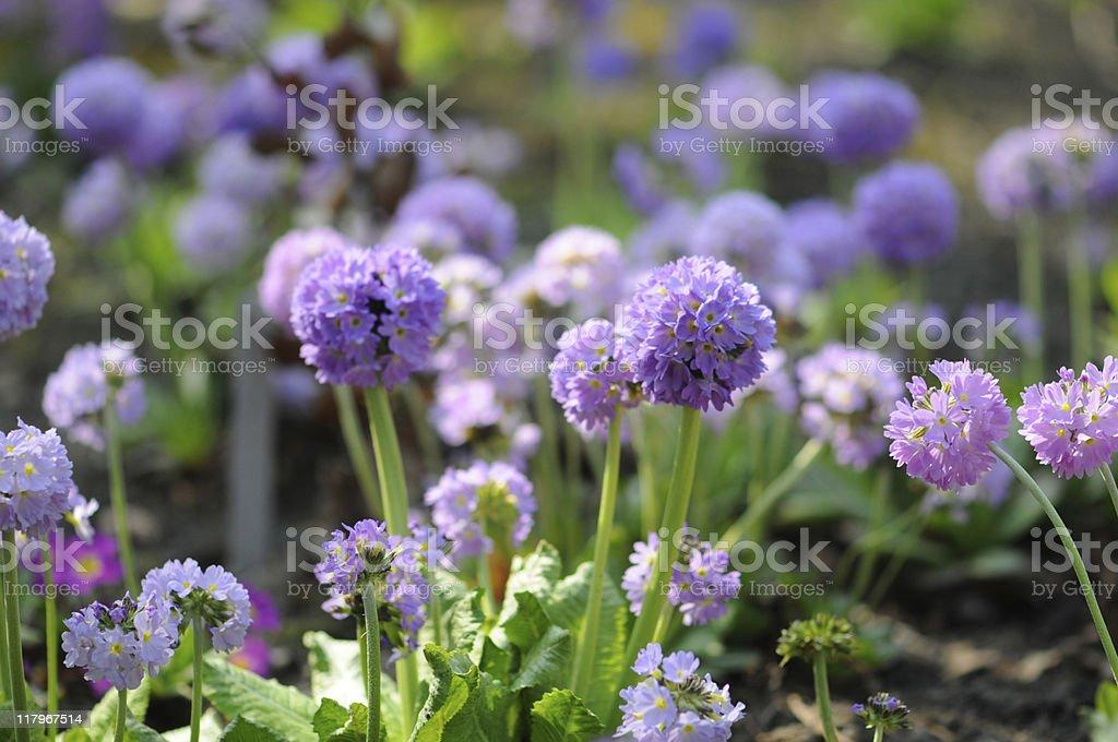 purple blue Drumstick Primula (Temperate Flower) stock photo