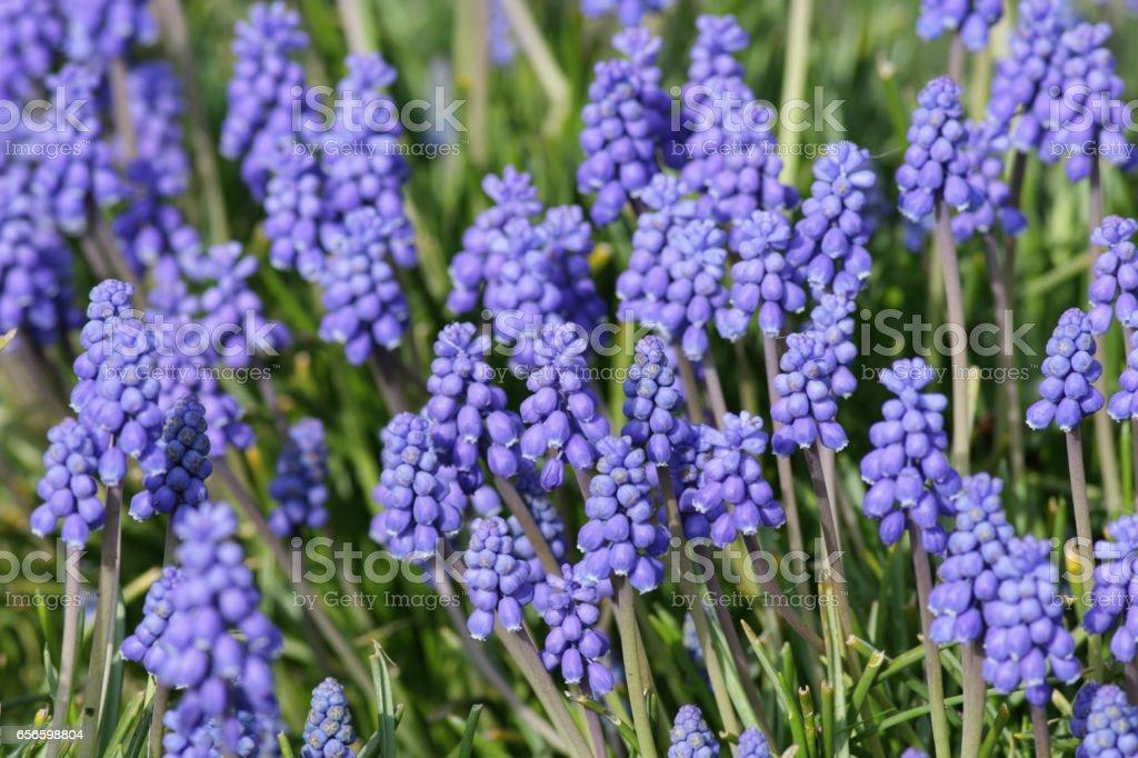 Purple blue grape hyacinth Muscari flowers in spring stock photo