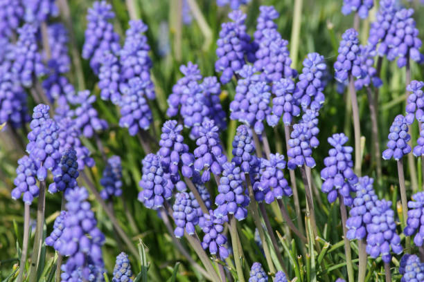 Purple blue grape hyacinth Muscari flowers in spring A typical flower of the early spring is the blue grape hyacinth, of the genus Muscari. whiteway stock pictures, royalty-free photos & images