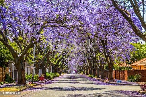 Purple blue Jacaranda mimosifolia bloom in Johannesburg street during spring in October in South Africa