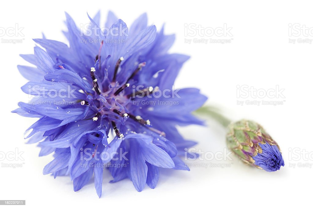 Purple Blue Wild Cornflower and Bud Close Up stock photo