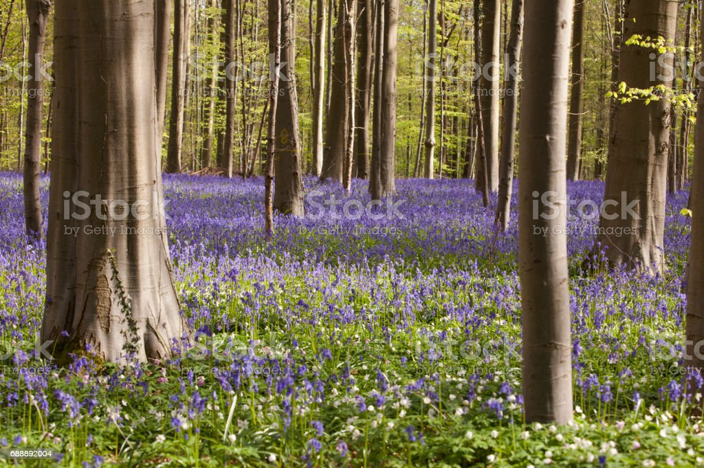 "Purple Bluebell forest - Hallerbos, Belgium The famous ""Hallerbos"" (bluebell) forest in Hoeilaart, Belgium.  Beauty Stock Photo"