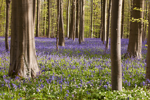 Purple Bluebell Forest Hallerbos Belgium Stock Photo - Download Image Now