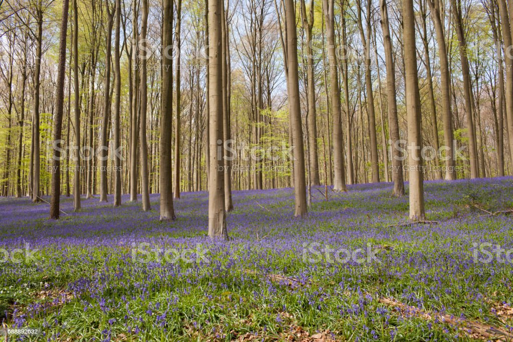 """Purple Bluebell forest - Hallerbos, Belgium The famous """"Hallerbos"""" (bluebell) forest in Hoeilaart, Belgium.  Beauty Stock Photo"""