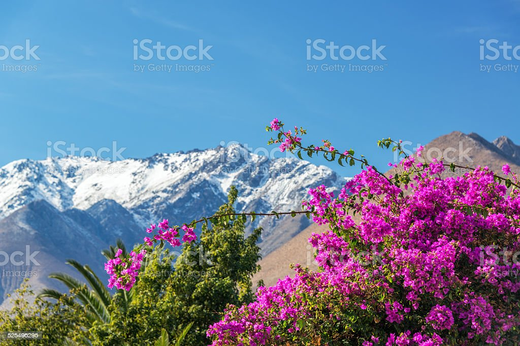 Purple Bougainvillea and Mountains stock photo