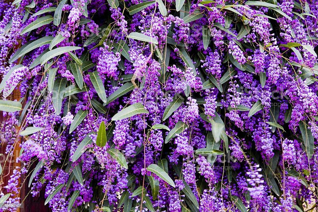 Purple Bougainvillea Closeup (Background) royalty-free stock photo