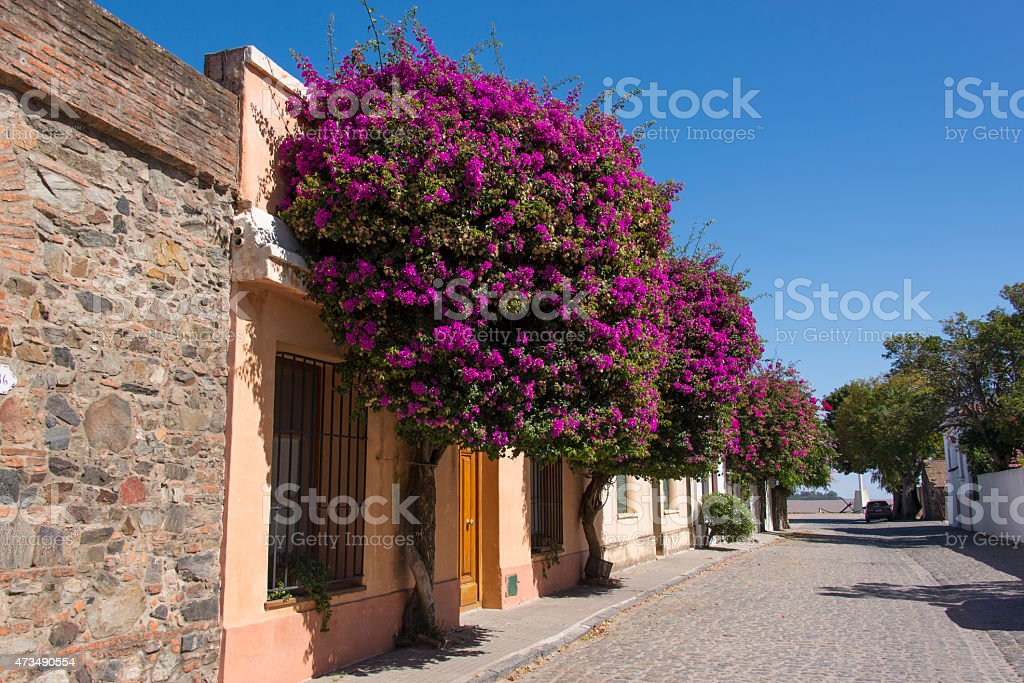 Purple bougainvillea growing richly against a walls of a street stock photo