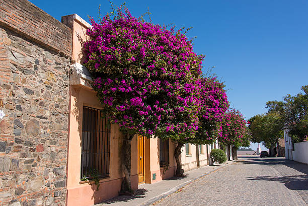 Purple bougainvillea growing richly against a walls of a street