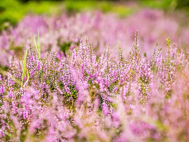 Purple British Heather stock photo