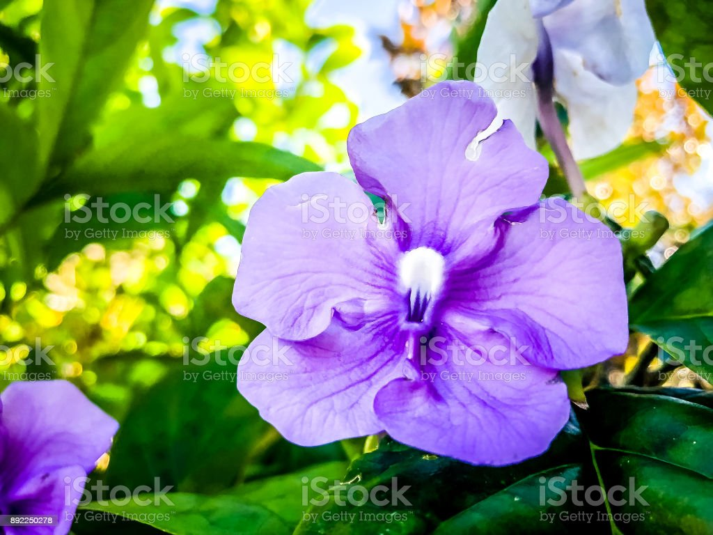 purple Brunfelsia Flowers - yesterday today and tomorrow tree stock photo