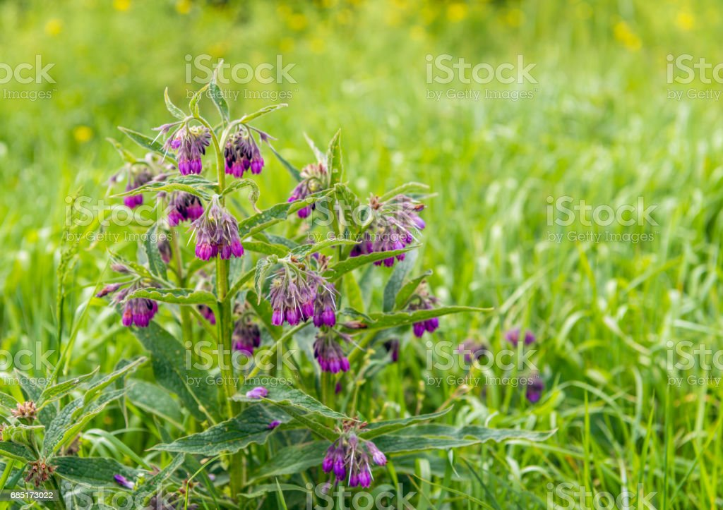 Purple budding, flowering and overblown blooms of a common comfrey plant royalty-free stock photo