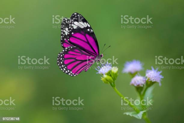 Purple butterfly on flowers picture id970236748?b=1&k=6&m=970236748&s=612x612&h=yqxhwc0surmmjekk7grrhaxerubm3h5e bcpnekkzgo=
