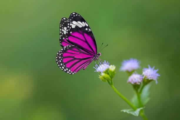 lila schmetterling auf blumen - schmetterling stock-fotos und bilder