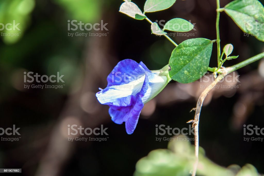 Purple butterfly pea flowers on the tree with black background. stock photo