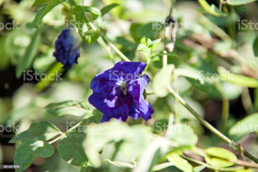 Purple butterfly pea flowers on the tree with green background. stock photo
