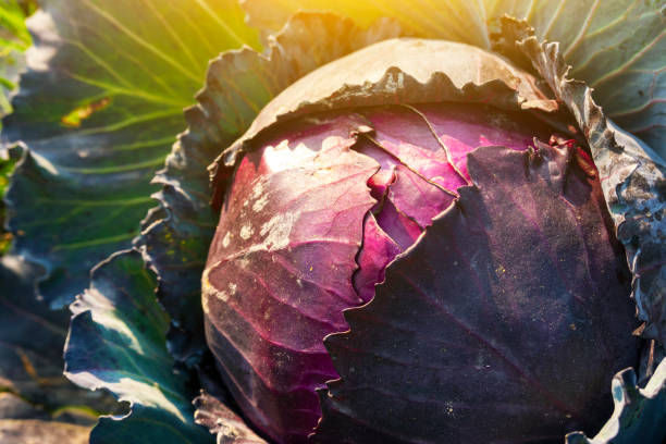 purple cabbage growing in the agriculture field stock photo