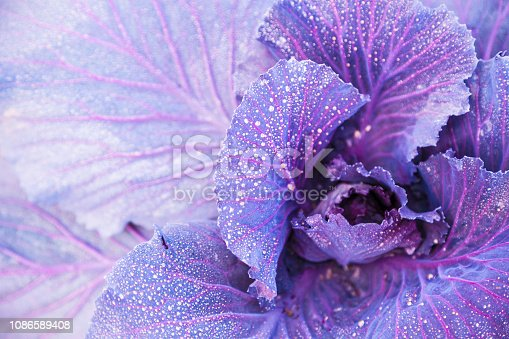 purple cabbage kale growing in the field with water dews