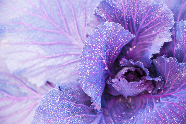 purple cabbage kale growing in the field with water dews stock photo