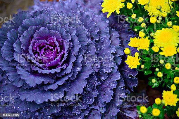 Purple Cabbage or  Kale growing alongside yellow Chrysanthemums.