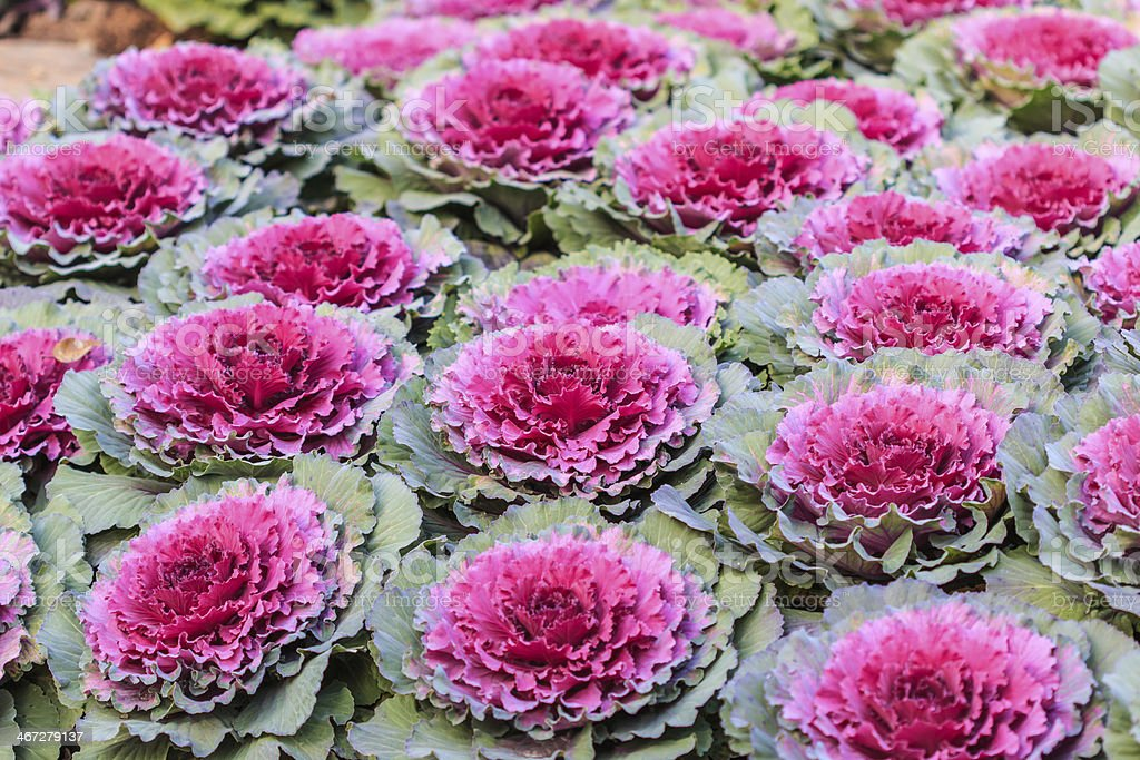 Purple cabbage stock photo