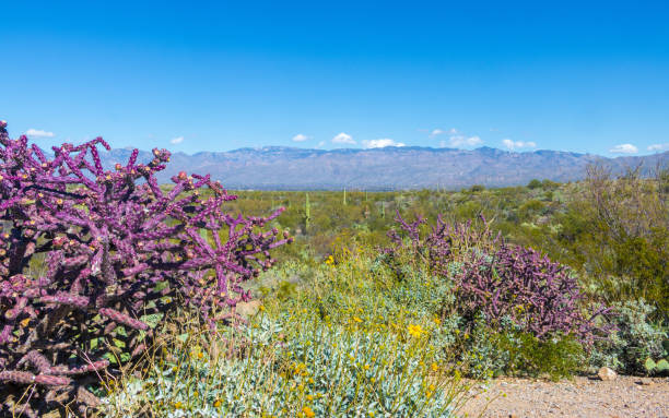 Purple cacti and brittle bush in the desert of Saguaro National Park stock photo