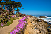 Purple wild flowers on Monterey beach in srping with blue sky, California, USA
