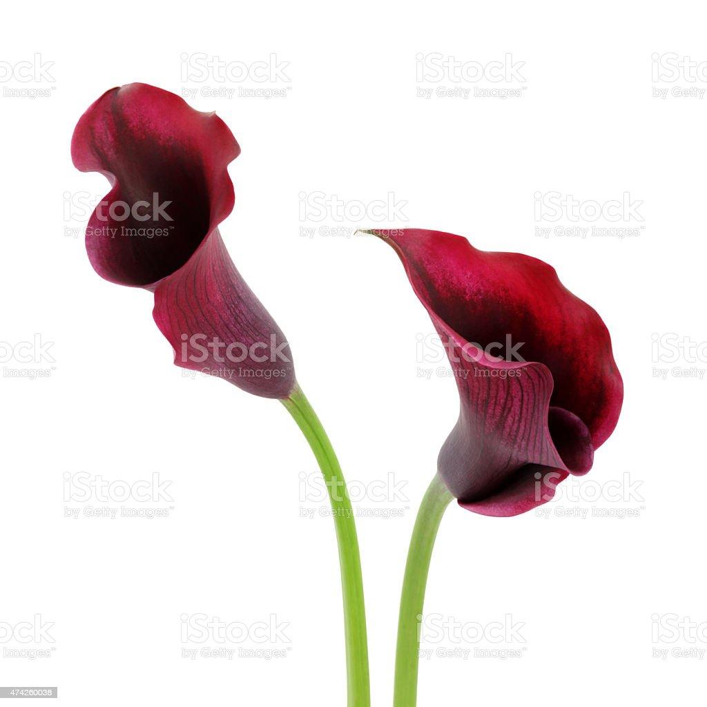 Violet de lys (callas) retournées (voie) - Photo