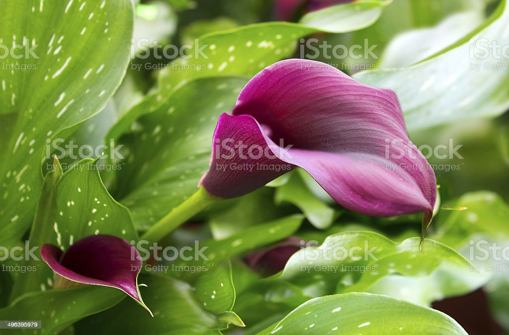 purple calla lily with many leaves stock photo